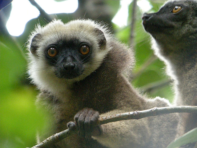White headed lemur